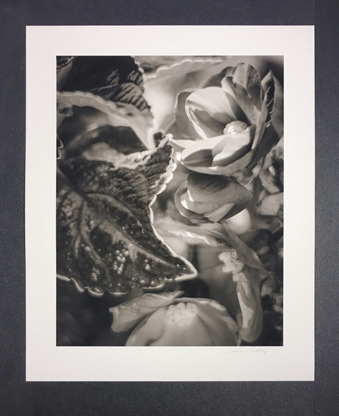 Begonia © Tyler Boley